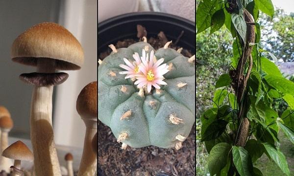 sychedelic-psilocybin-peyote-ayahuasca